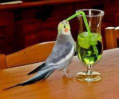 Coctails parrot