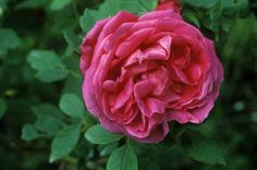 American Beauty Rose - Jerry Pavia/Getty Images