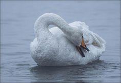 le lac Svetloe le vrai lac des cygnes 4   Le lac Svetloe en Sibérie: le vrai lac des cygnes   video Svetloe siberie russie photo oiseau lac ...