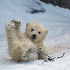 Baby polar bear - adorable
