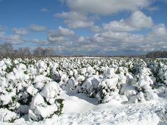 Snow covered arbs on our Herhold farm.