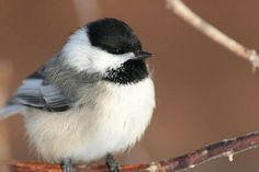 Carolina Chickadee 12/2011
