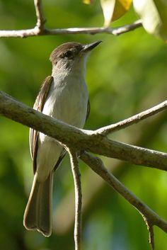 La Sagra's Flycatcher, Cuba