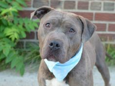 BE DESTROYED - 07/2/14  Brooklyn Center -P   BLUE. A1004091. Male blue/white pit ter mix.3 YRS old.  OWNER SUR 6/21/14  MOVE2PRIVA  Blue's previous owner states he is house trained, has lived with dogs, three adults, two teenagers and one child and gets along well with children, strangers and dogs. Blue pulls on the leash and was excited but very interested in interacting with handler -affectionate. Playful, active, sits on command.  Help us find a furrever home for this handsome slate boy!
