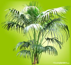 Kentia Palm - How to Grow Plant Care Indoor Palms, Indoor Trees, Kentia Palm, Mealy Bugs, Plant Pests, Poisonous Plants, Palm Fronds, Neem Oil, Water Lighting