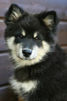 The Finnish Lapphund breed native to the country of Finland. It was traditionally used for herding Reindeer.