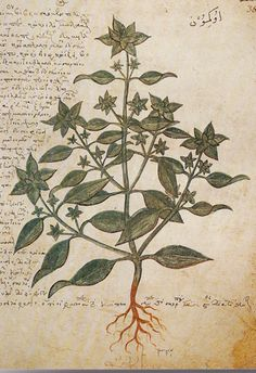 Juliana Anicia Codex Ocimum basilicum Click to Enlarge Image  Current Binomial Ocimum basilicum L. Source BinomialOcimum basilicum FamilyLabiatae, Lamiaceae Common NameSweet basil Greek Nameokimon Folio387r