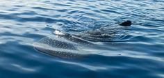 Our Mexico volunteers spotted a whale shark on their weekend off during an ocean snorkel!  #gvi #marinelife #travel