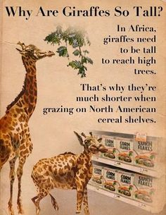 Maybe they should put the Corn Flakes on a higher shelf. Llamas, Love Is Everything, My Love, Haha Funny, Hilarious, Funny Stuff, Giraffe Pictures, Okapi, You Make Me Laugh