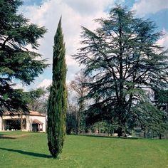 Cyprès d'Italie 'Stricta' - Plantes et Jardins