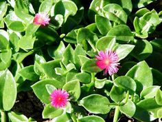 Image 5421228 is of baby sun rose (Aptenia cordifolia ) flower(s). It is by Forest and Kim Starr at Starr Environmental. Leaves and flowers Flower Pots, Apple Plant, Ice Plant, Trees To Plant, Ground Cover Roses, Plants, Novelty Planters, Planting Flowers, Ground Cover