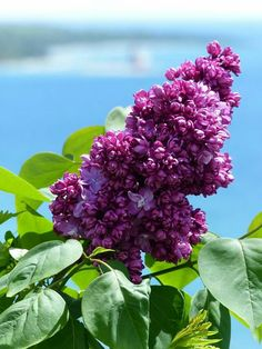 Lovely lilacs!