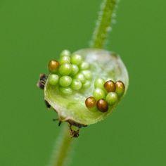 Tiny Bishop's Cap seeds