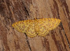 Moths of the Andes - Eois paulona