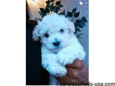 listing 3 month old toy poodle babies is published on Free Classifieds USA online Ads - http://free-classifieds-usa.com/for-sale/animals/3-month-old-toy-poodle-babies_i37993