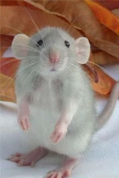 Who Me? Baby rat by rosemary