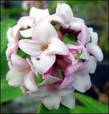 daphne plant - Google Search. Ever green shrub good for shade. Fragrant. Very early spring bloomer.