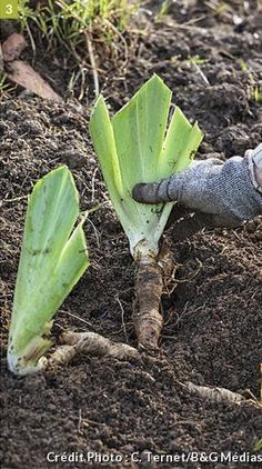 Iris, Fleur Orange, Permaculture, Asparagus, Vegetables, Gardening, Couture, Gardens, Garden Deco