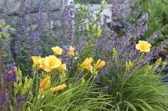 Stella d'Oro' daylilies pop against lavender 'Walker's Low' catmint and a touch of deep violet 'May Night' salvia May Night Salvia, Mulch Landscaping, Landscaping Ideas, Landscape Design Plans, Colorful Garden, Companion Planting, Edible Garden, Day Lilies, Garden Planning