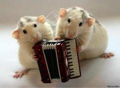 accordeon muizen