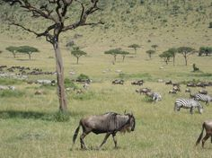 """""""Seeing the Great Wildebeest Migration in Masai Mara, Kenya was one of the things on my bucket list and is an amazing natural phenomenon."""" Have your own awesome safari photo? Upload it to http://www.cntraveler.com/dreamtrip and be entered to win a $25k trip of a lifetime."""