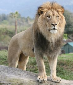 ♘ Animalia ♘ Lion King Izu (by Karl Drilling)