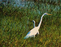 Two Great White Egrets In Bracken