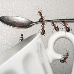Dica pra afastar as formigas daquele pote de açúcar, ou do biscoito doce: Colar com durex mesmo uma folha de louro na tampa. Pode ser na...
