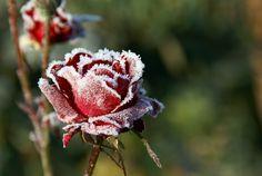 Duidelijk-vaag contrast Dit zie je aan de bevroren roos die heel scherp is afgebeeld en de achtergrond heel vaag is gemaakt, hierdoor valt je aandacht alleen op de roos.