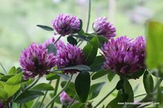 Red Clover, not just a road side weed. Many health benefits.