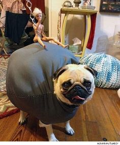 Pug's 'Wrecking Ball' Halloween Costume Goes Viral - PawNation