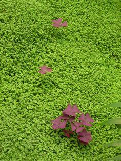 Faux trèfle pourpre (Oxalis triangularis) poussant dans un tapis d'helxine (Soleirolia soleirolii), Parc floral de Paris, Paris 12e (75), avril 2011, photo Alain Delavie