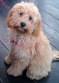 See related links to what you are looking for. Mini Cockapoo, Cavapoo Puppies, Cute Puppies, Cute Dogs, Dogs And Puppies, Goldendoodles, Puppys, Miniature Labradoodle, Doggies