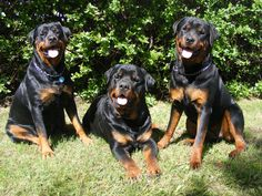 colorful pictures of rotties | Wallpapers Dogs Rottweilers Pack 2048x1536 | #883994 #dogs