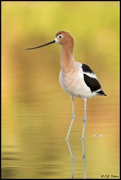 American Avocet by E.J. Peiker One of my most favorite birds.  We first saw them in 1993 at Palo Alto Baylands, San Francisco, CA