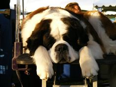 St. Bernard=Originally used to locate freezing and helpless travelers during snowstorms, the St. Bernard now uses his intelligence and strength in conformation and obedience competitions, cart pulling and weight pulling. Although powerful and muscular in build, Saints possess a gentle and dignified temperament.New owners should be prepared for drool - there is no such thing as a dry mouth Saint.