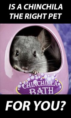 Chinchilla – Is it the Right Pet for You?