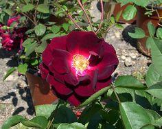 "What Is A ""Sucker"" on a Rose Bush?   Fine Gardening"