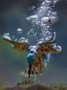 Elegante Eisvogel (Unterwasser) von Jaap Lanthan Brijn - New Ideas Pretty Birds, Beautiful Birds, Animals Beautiful, Beautiful Stories, Underwater Photography, Wildlife Photography, Animal Photography, Underwater Photos, Fishing Photography