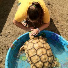 Sulcata life. on Pinterest | Tortoises, Tortoise Habitat and Pens
