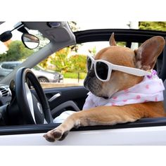 Dis how we rolls! @cesar_frenchie #cooltothebone #ridindirty by stitchbully http://instagram.com/p/uG9L8VEiod/