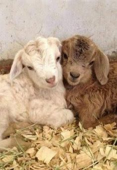 Baby animals are all adorable. If you think goats can't be cute, you better think again. Here's a list of the cutest mini goats you will ever see. Cute Baby Animals, Animals And Pets, Funny Animals, Cute Goats, Baby Goats, Pygora Goats, Tier Fotos, Cute Creatures, My Animal