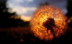Sunset/Dandelion