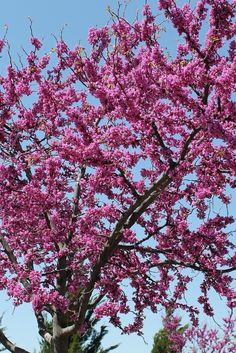 1000 ideas about redbud trees on pinterest dogwood - Decorative trees with red leaves amazing contrasts ...
