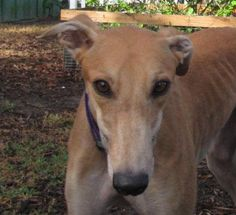 Kelsos Raincoat is an adoptable Greyhound searching for a forever family near Charleston, SC. Use Petfinder to find adoptable pets in your area.