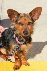 Yorkie Yorkshire Terrier Dachshund Mix dapple coloring | ... Yorkie Dachshund mix AKA DORKIE on Pinterest | Yorkie, Dachshund and