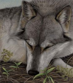 Gray Wolf Wildlife Pastel Painting-North American wildlife art, paintings and drawings by award winning animal artist Colette Theriault