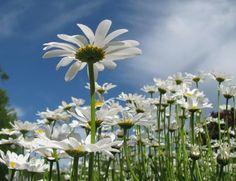 i literally love daisies.