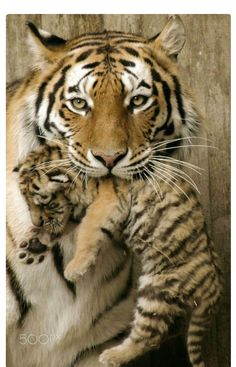 Mother tiger gently carrying her cub.