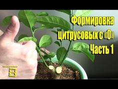 Forming citrus with Part Small Farm, Orchids, Herbs, Garden, Plants, Indoor House Plants, Garten, Lawn And Garden, Herb